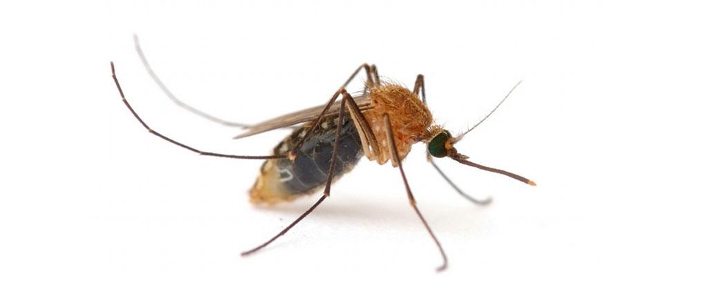 Los mosquitos, vectores de enfermedades