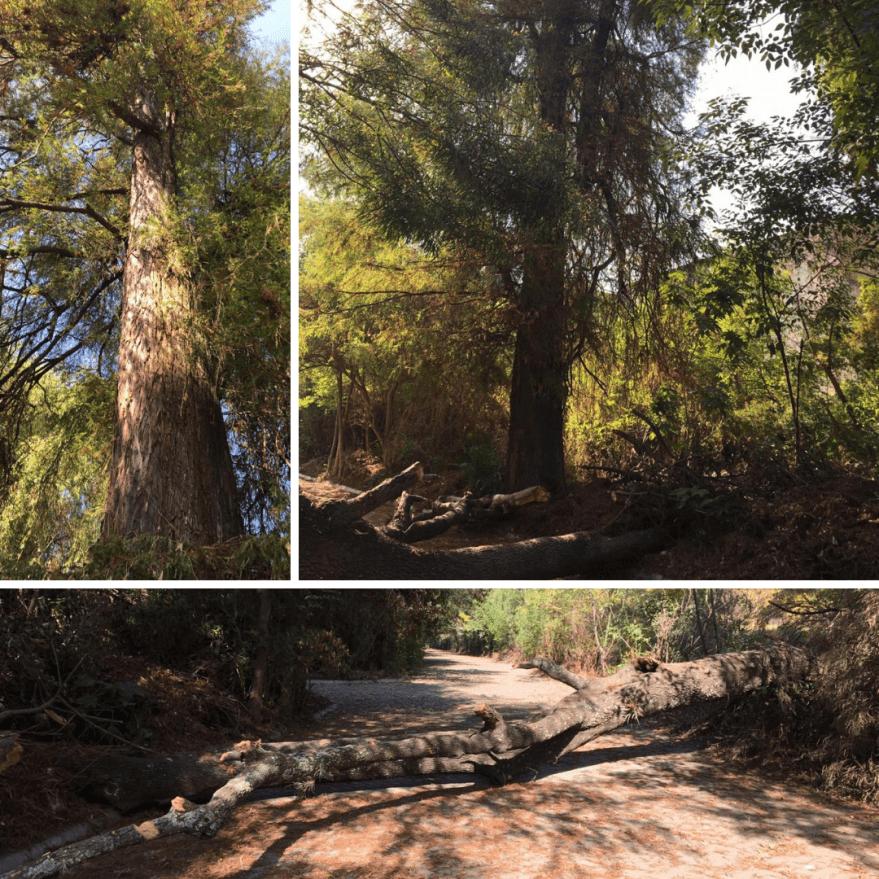 En plena contingencia sanitaria, se reanuda tala ilegal de árboles en exvivero de Santa Cruz Buenavista